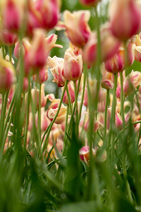Cream and Pink Tulips Selective Focus Abstract