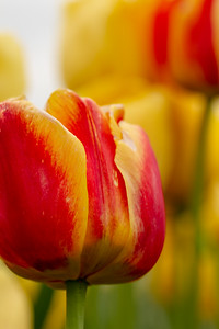 Close-up view of Red and Yellow Tulip