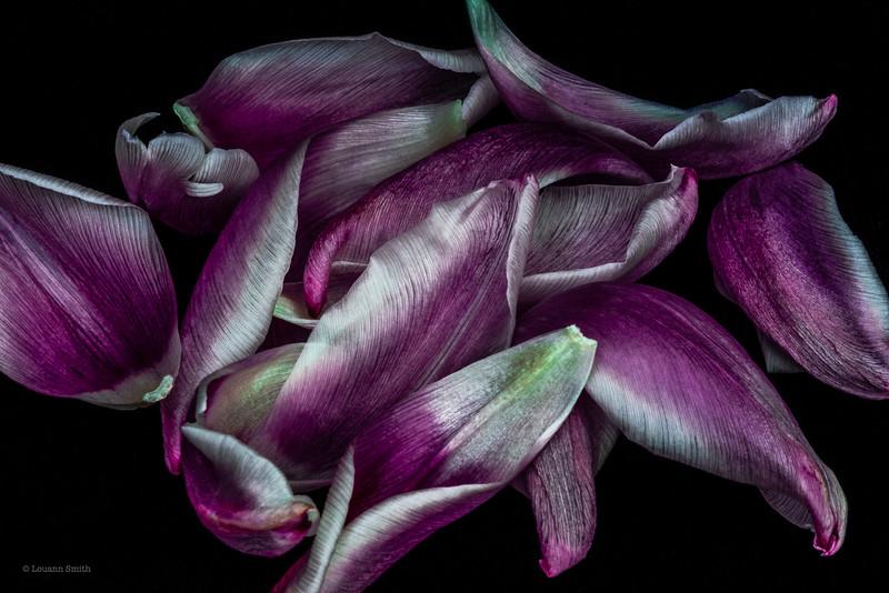 Tulipa 'Lustra' Petals 3