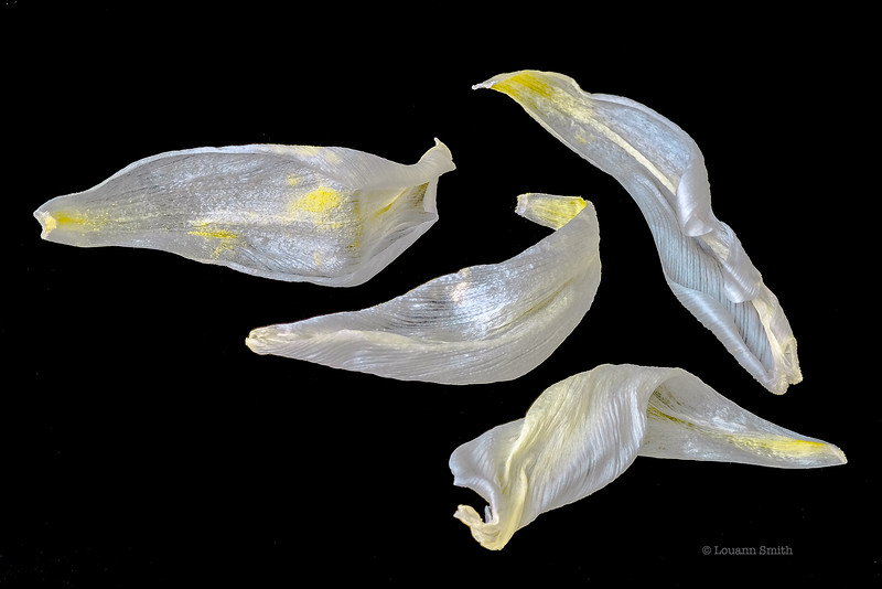 Tulipa 'Alba Pluma' Petals 1