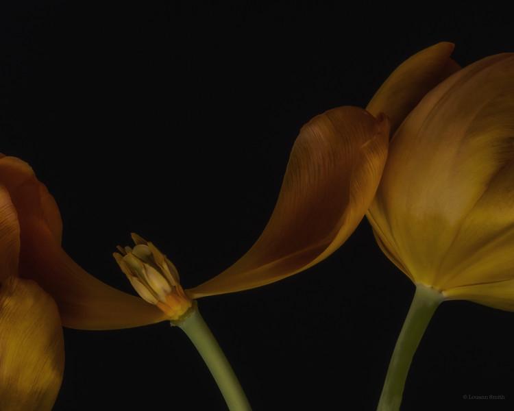 Tulipa 'Aurea Antiqua' 2