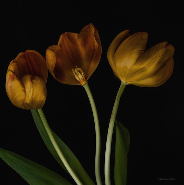 Tulipa 'Aurea Antiqua' 3