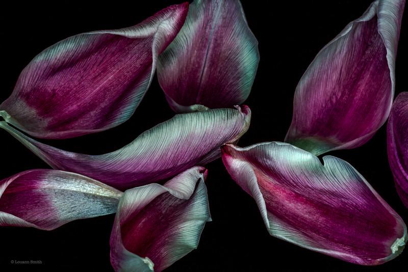 Tulipa 'Lustra' Petals 2