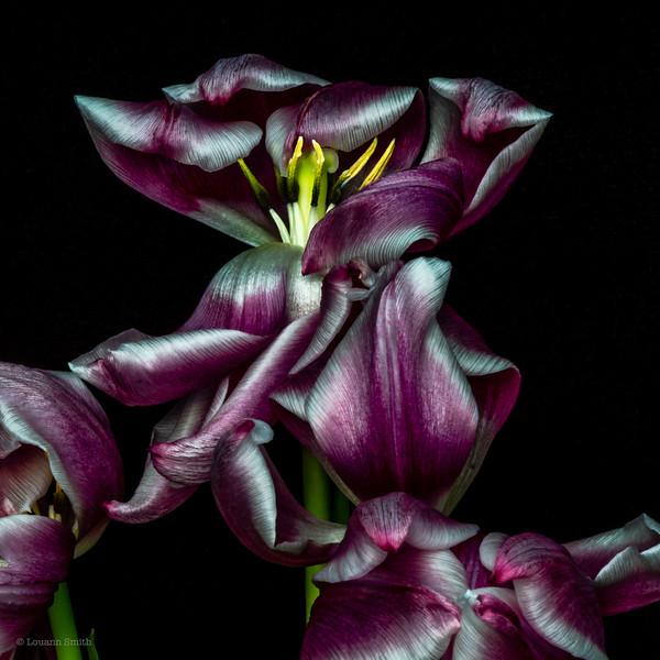 Tulipa 'Lustra' 1