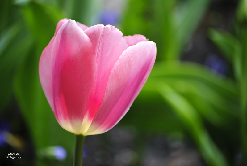 Pinkish Tulip Closeup