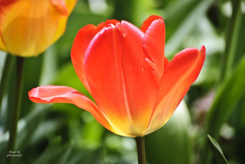 Full Bloomed Tulip