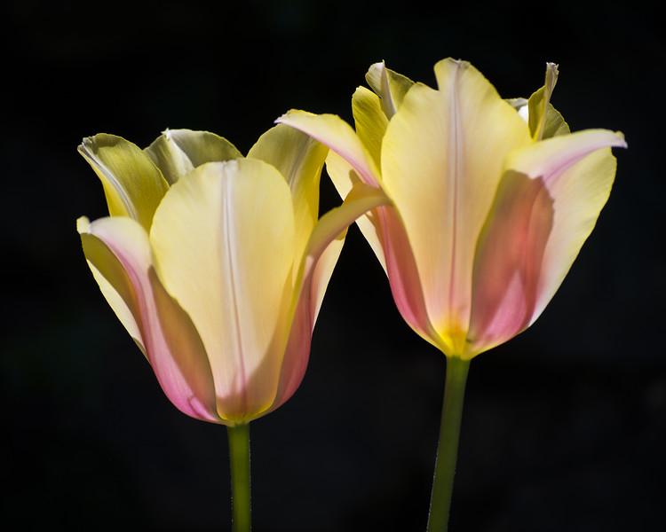 Twin Sister Tulips
