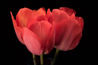 Tulips 4.10.17