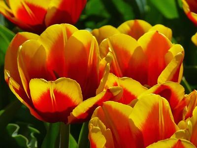 Tulips Boston May 11, 2014