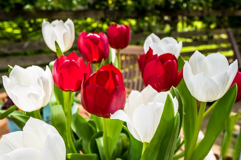 Garden tulips May 2017