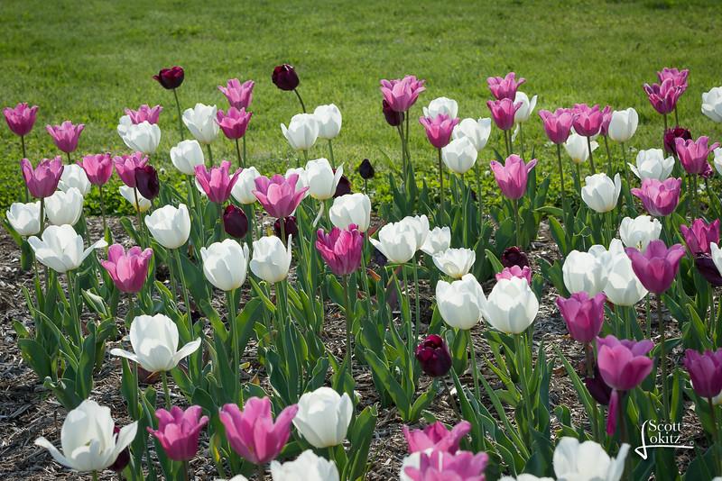 Tulips at the Jewel Box-16