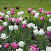 Tulips at the Jewel Box-16