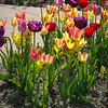 Tulips at the Jewel Box-2