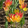 Tulips at the Jewel Box-6