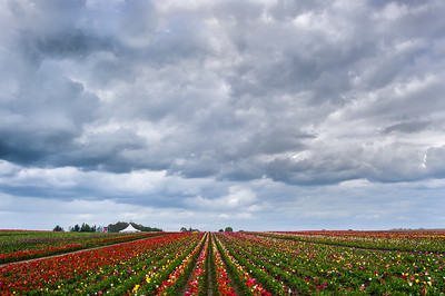 Forbidding skies threaten to douse a flaming tulip color riot