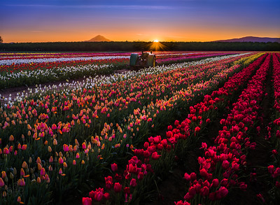 Sunburst over tulips
