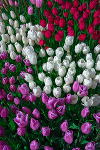 Tulips below