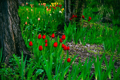 Wild tulips in the wilderness... a nice  but unlikely idea