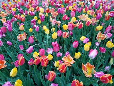 Pella Tulips