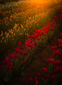 Sunflare on tulips
