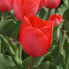 red tulip group_small jpg, red tulip group_small