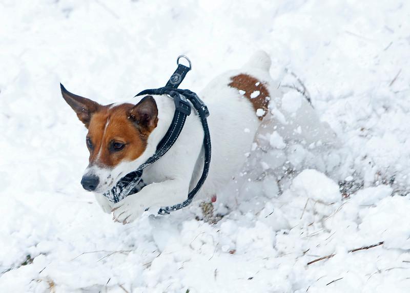 A dog enjoying the snow in Tullamore, Offaly - 28.02.18 niallomara@me.com