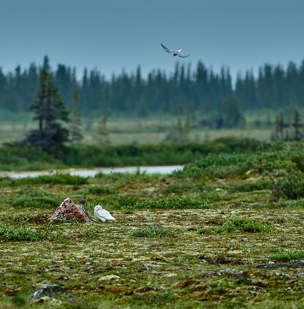 arctic tern and snowy owl