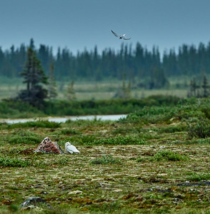 arctic tern and snowy owl