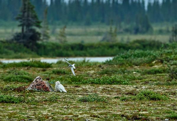 arctic tern pestering snowy owl