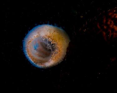 Pelagic Tunicate (Pyrosoma atlanticum)