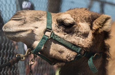 Turf Paradise Ostrich Camels and Horse Racing March 28 2015  004