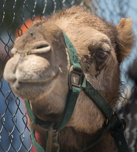 Turf Paradise Ostrich Camels and Horse Racing March 28 2015  005
