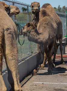 Turf Paradise Ostrich Camels and Horse Racing March 28 2015  003