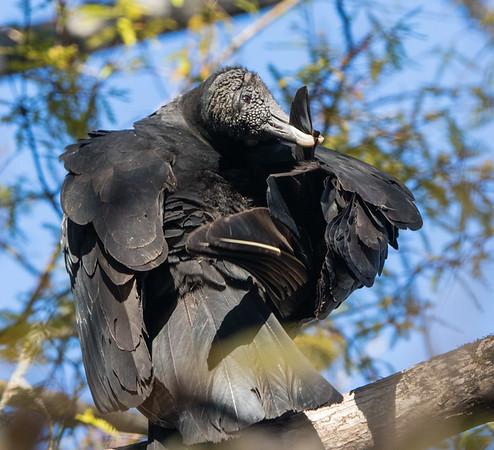 black vulture  sm   11