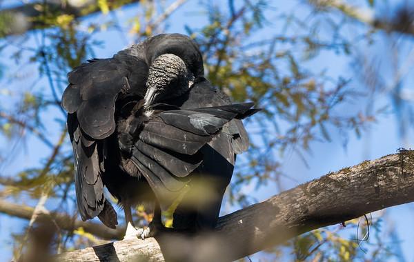 black vulture  sm   8