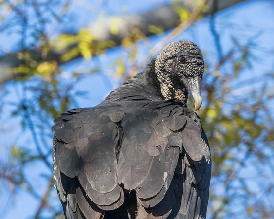 black vulture sm    5