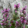 Wildflowers, Sognali, Cappadocia