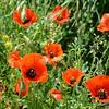 Poppies, Rock of Van, Van