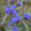 Wildflowers, Sobesos, Cappadocia