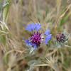 Wildflowers, Goreme, Cappadocia
