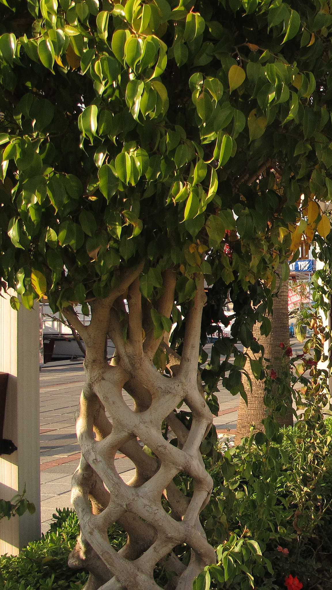 Day 2 - A cunningly grown tree with decorative trunk at the central square in Fethiye