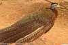An Argus Pheasant taken Feb. 20, 2012 in Tucson, AZ.