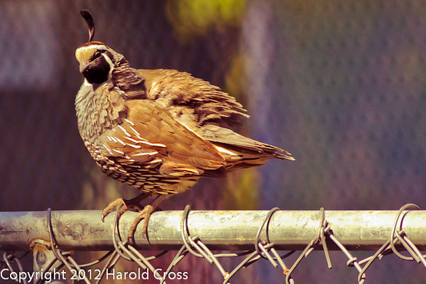 A California Quail taken Jun. 27, 2012 in Salt Lake City, UT.