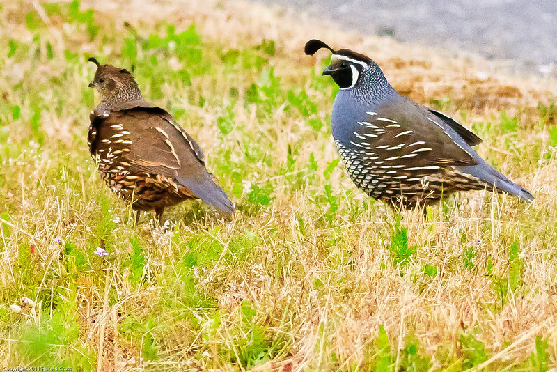 A California Quail taken June 11, 2011 near Bridgeville, CA.