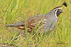 A California Quail  taken Apr 22, 2010 near Bridgeville, CA.