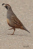 A California Quail taken Apr 25, 2010  near Bridgeville, CA.