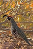 A Gambil's Quail taken Nov. 20, 2010 in Grand Junction, CO.