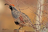 A Gambel's Quail taken Apr. 5, 2011 in Grand Junction, CO.