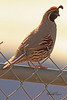 A Gambel's Quail taken Mar. 30, 2011 in Grand Junction, CO.