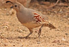 A Gambel's Quail taken Jan 31, 2010 in Apache Junction, AZ.